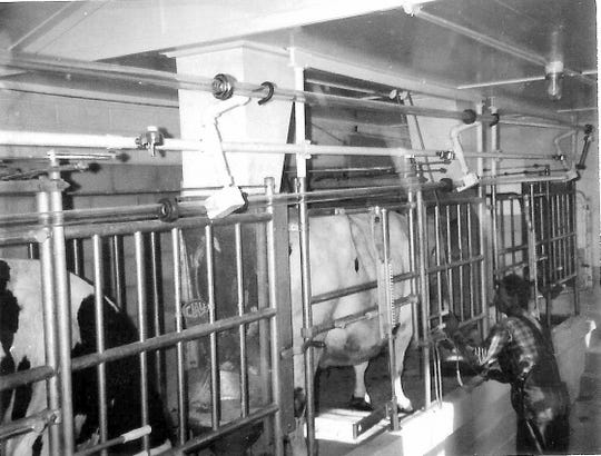 Bob's dad (Elmer 'Shorty' Manzke) milking in their new milking parlor in the 1960s.