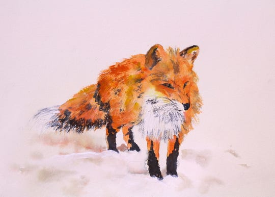 The red fox is the more colorful of the two fox species in Western NC.
