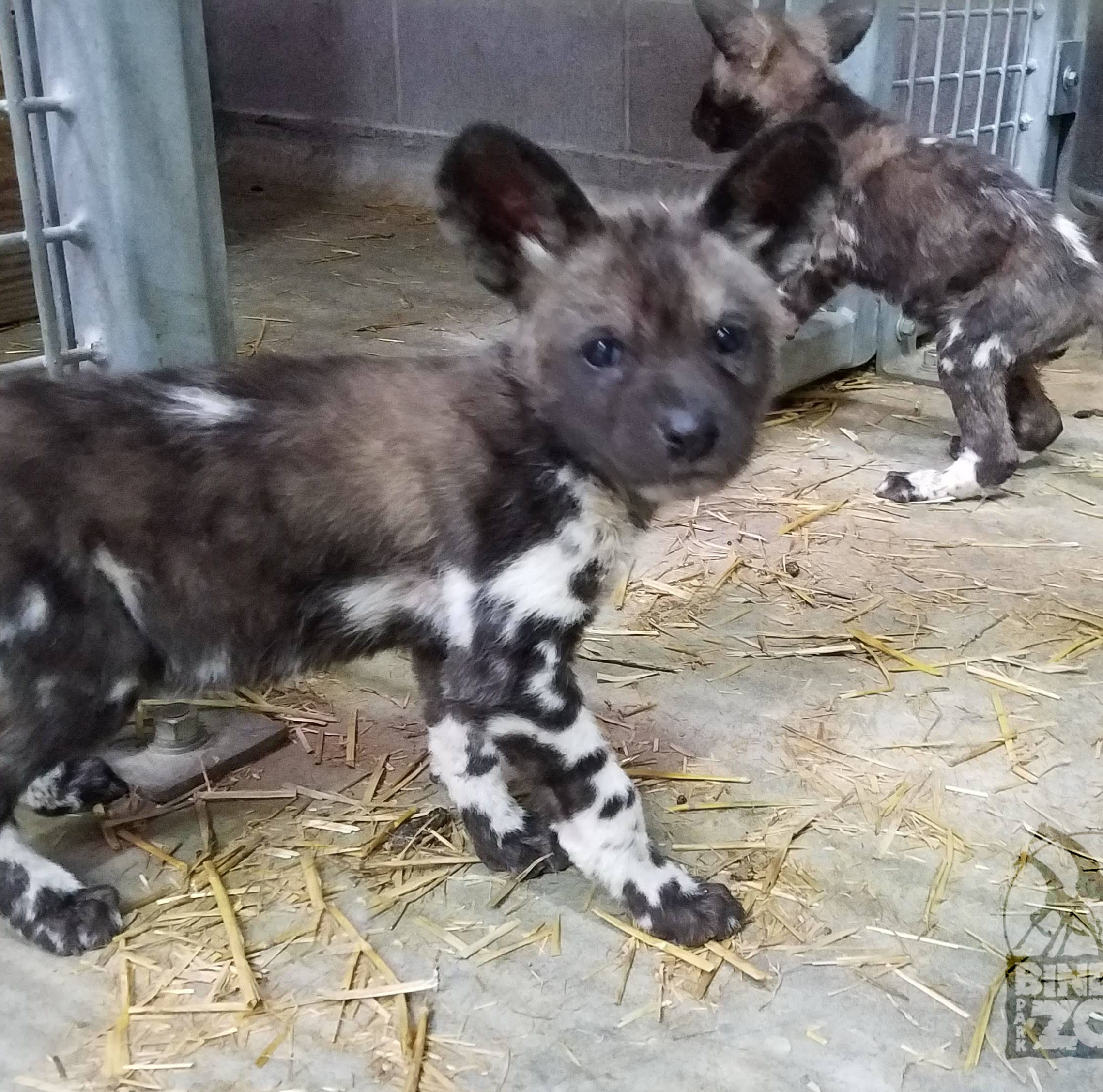 Binder Park Zoo's newest residents are 11 African painted dog pups