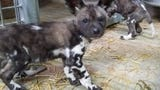 African painted dog pups arrive at their exhibit at Binder Park Zoo