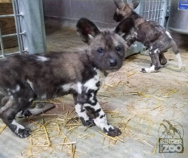 The African painted dog pups have grown big enough to explore their home at Binder Park Zoo.
