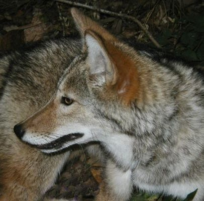 Answer Man: Coyotes breeding with wolves? Can furloughed feds get unemployment?
