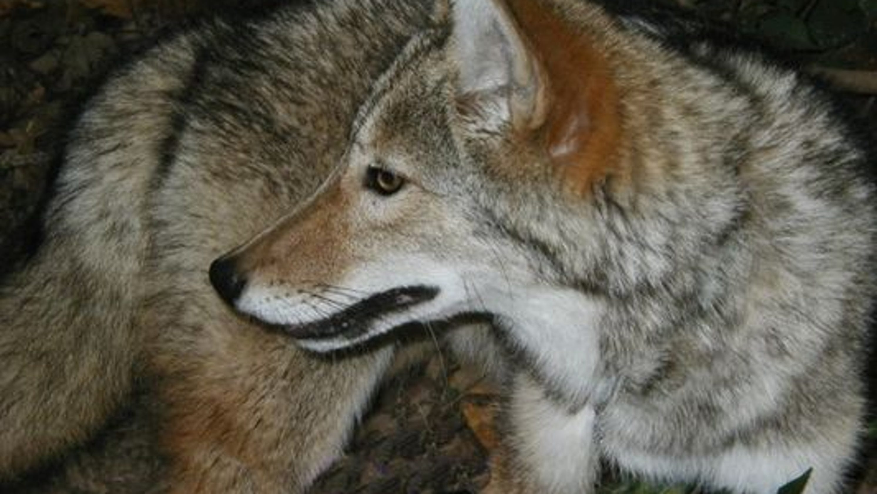Police kill coyote that attacked NJ mom and son