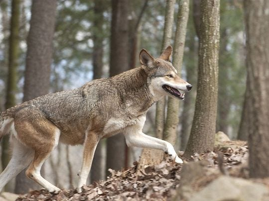 Red wolves are nearly extinct in America. This one lived in captivity at the WNC Nature Center.