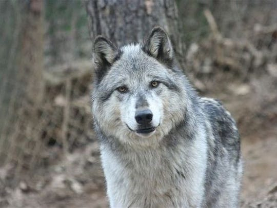 Gray wolves do not live in the wild in North Carolina. This captive gray wolf lived at the WNC Nature Center.