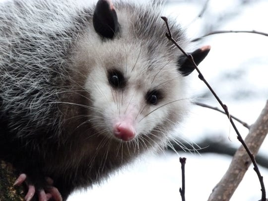 An opossum gazes from a tree at photographer Kara Jones on Jan. 23, 2012