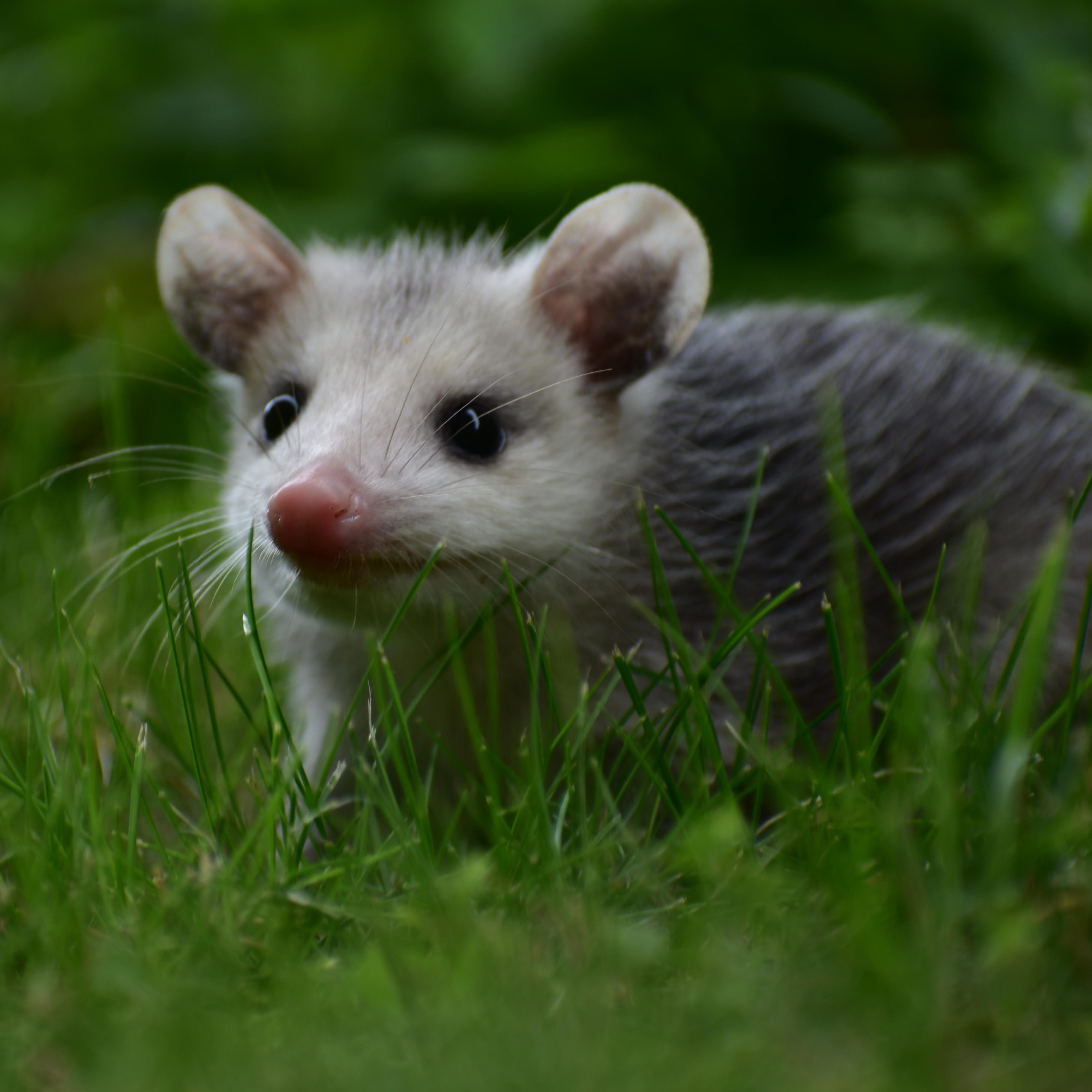 Vermont has a Lyme disease problem. Can opossums help fix it?