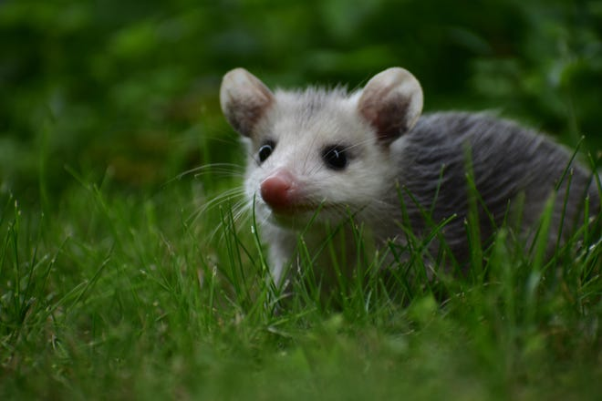 A tick's-eye view of a young opossum, photographed July 9, 2018.