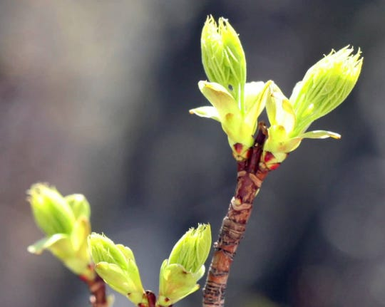 How do plants know when it's safe to open their leaf and flower buds?