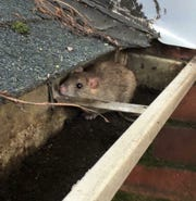 A roof rat sits in the gutter of a Memphis-area home.