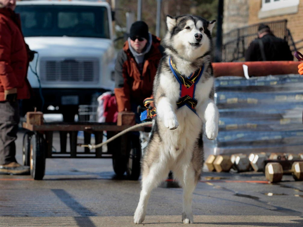 Monty, an Alaskan Malamute, stretches on his hind legs to pull a 450 lbs weight while his owner Matt Sautbine, of Elkhorn, encourages him during an Alaskan Malamute Dog Weight Pull competion during  Cedarburg's 40th Annual Winter Festival, Sunday, February 16, 2014.  The 2019 Cedarburg winter festival will take place Feb. 16 and 17.