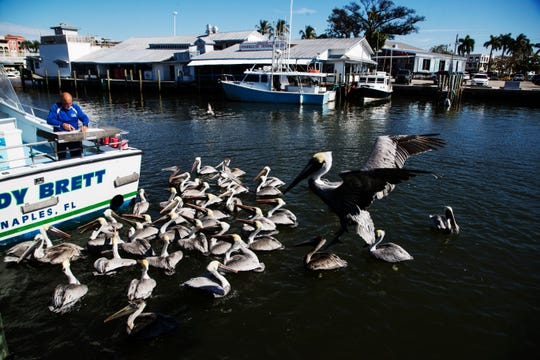 Brown pelicans beg for a handout in Naples Bay at Tin City in Naples on Wednesday, Jan. 16, 2019. The Naples City Council awarded a contract to Quality Enterprises, Inc., to construct improvements for the Naples Bay Restoration and Water Quality Improvement Project.