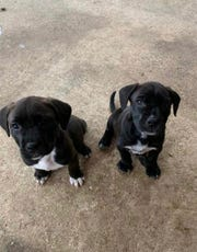 Puppies MJ (since adopted) and Cash (still available) are pictured. The dogs are fostered under the Junior Humane Society/United Humanitarian.
