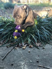 Nova, a 2-year-old blue nos pitbull rescued and adopted through the Junior Humane Society, is photographed eating flowers.