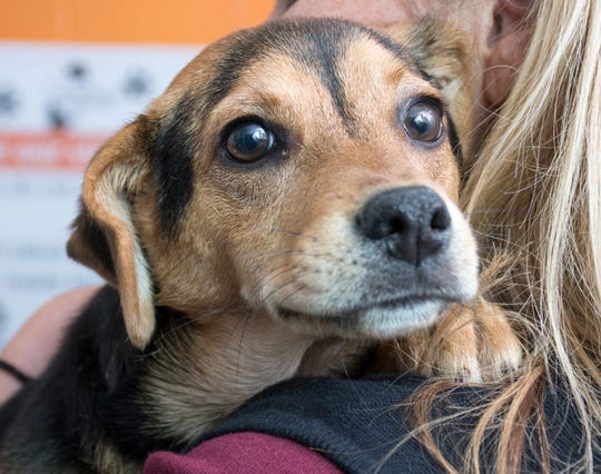 One of many dogs available for adoption at the Pensacola Humane Society in Pensacola on Wednesday, January 16, 2019.  Pensacola Humane Society will be presenting their First Annual Fur Ball fundraising gala on Friday, February 1, 2019.
