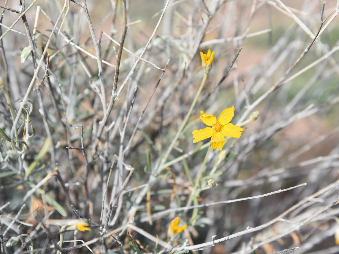 Paper Flowers bloom year-round above Tonto Creek.