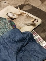 A buck closes its eyes while covered in blankets and sheets after being rescued from cold waters.