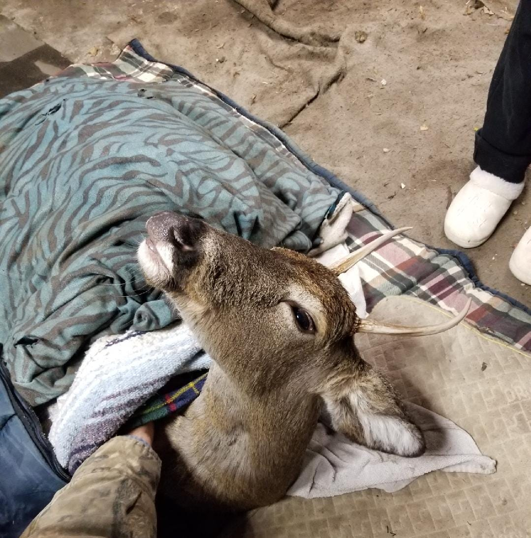 He tried to save deer stuck in frigid lake; now he faces fines for caring for it in garage