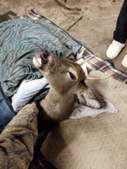 A buck rescued from the waters at Pinchot State Park was taken back to the garage of John Stoll Jr. to get better.