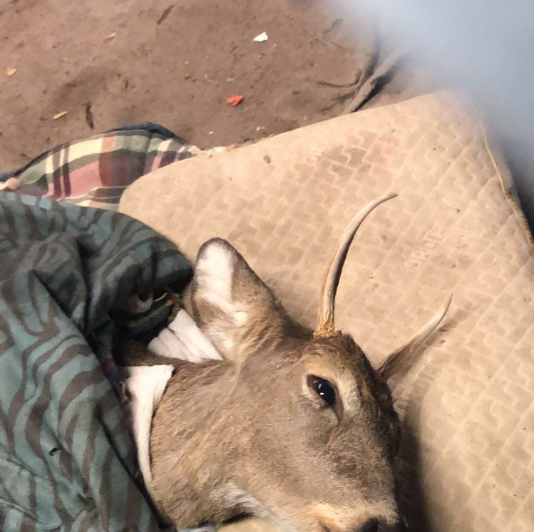 Pa. Game Commission: No charges filed yet in deer rescue at Pinchot State Park