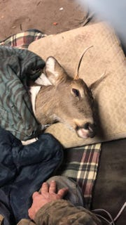 A buck looks up at community members who tried to rehabilitate in their garage in Warrington Township.