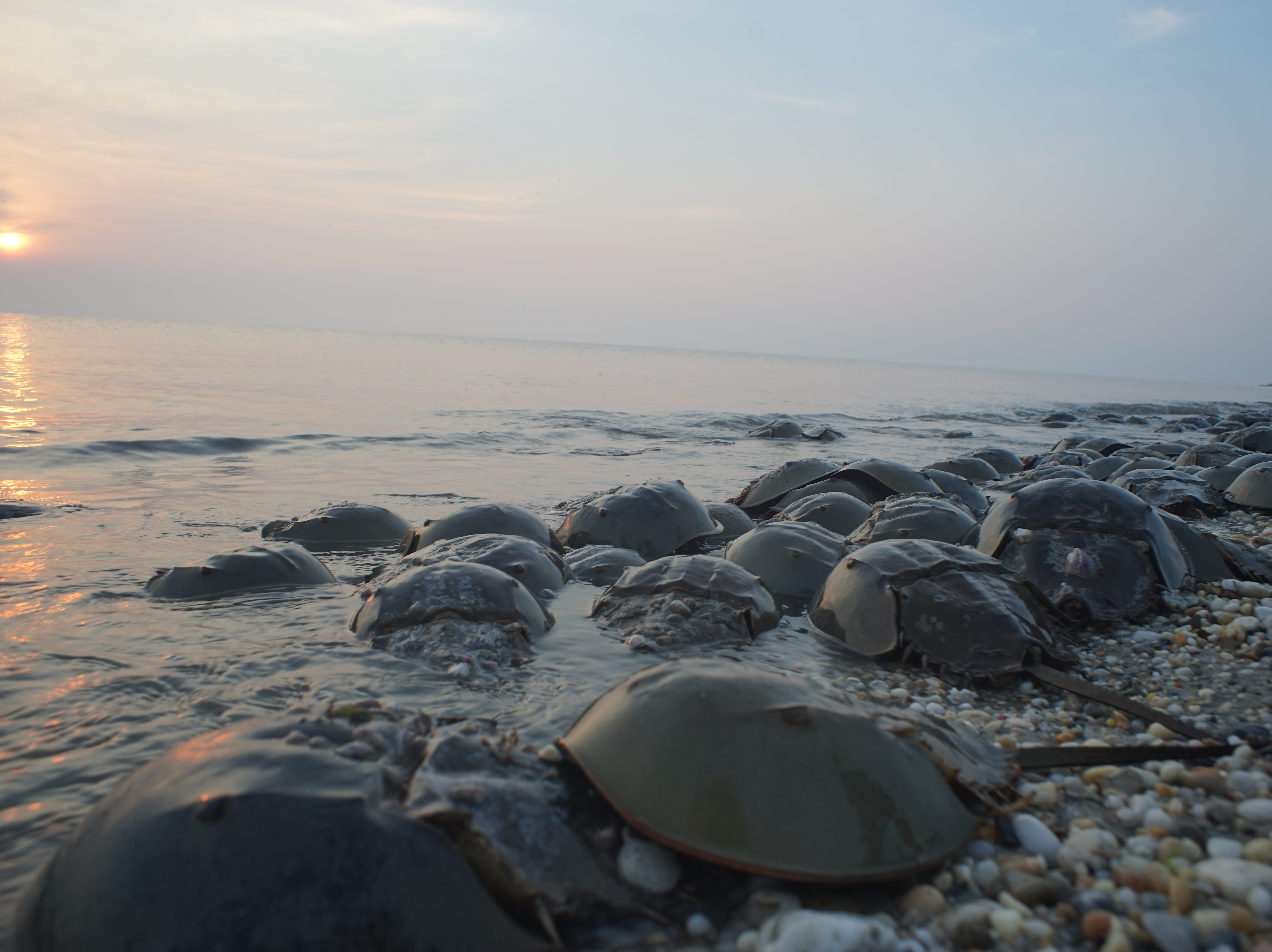 Delaware alphabet: H is for horseshoe crabs.Here, the crabs spawn at Delaware Wild Lands' Milford Neck Beach in Kent County.