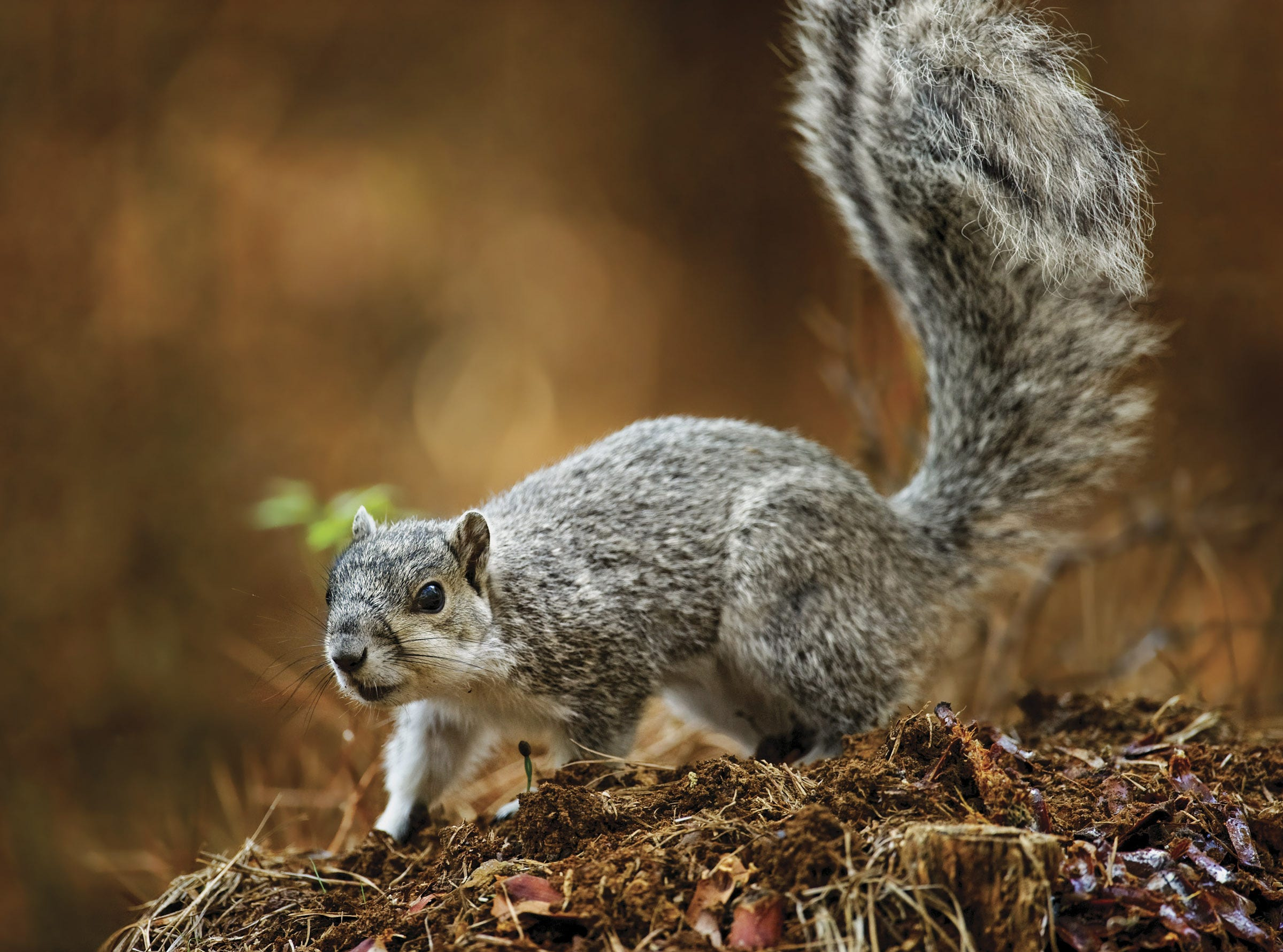 Delaware alphabet: D is for the Delmarva fox squirrel. It disappeared from Delaware and had to be reintroduced 16 times from Maryland before the population grew again.