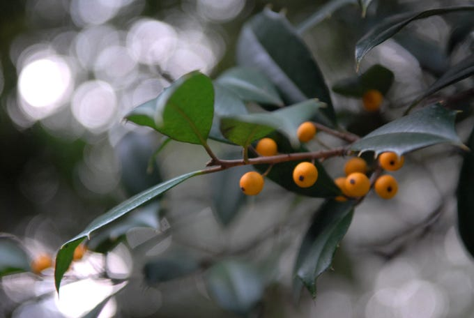 Delaware alphabet: A is for American holly, photographed in the University of Delaware Botanical Garden. It sparked a holiday industry in the First State.