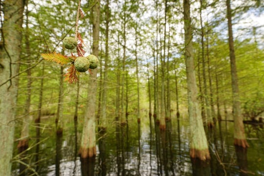 Delaware alphabet: G is for the Great Cypress Swamp. Here, bald cypress seeds and trees thrive in Delaware Wild Lands' Great Cypress Swamp.