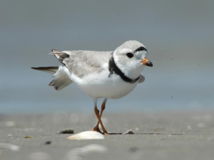 Delaware alphabet: P is for piping plovers. The population of the tiny birds seems to be rebounding in Delaware.