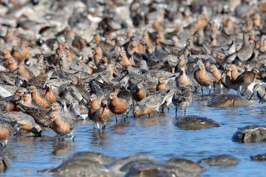 Delaware alphabet: R is for Red knots. These birds are drawn to Delaware by the abundance of protein-rich horseshoe crab eggs.