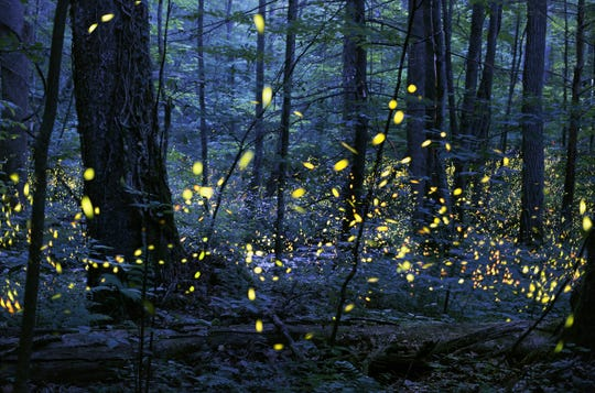 Delaware alphabet: F is for fireflies. Delaware is home to 11 species of them.