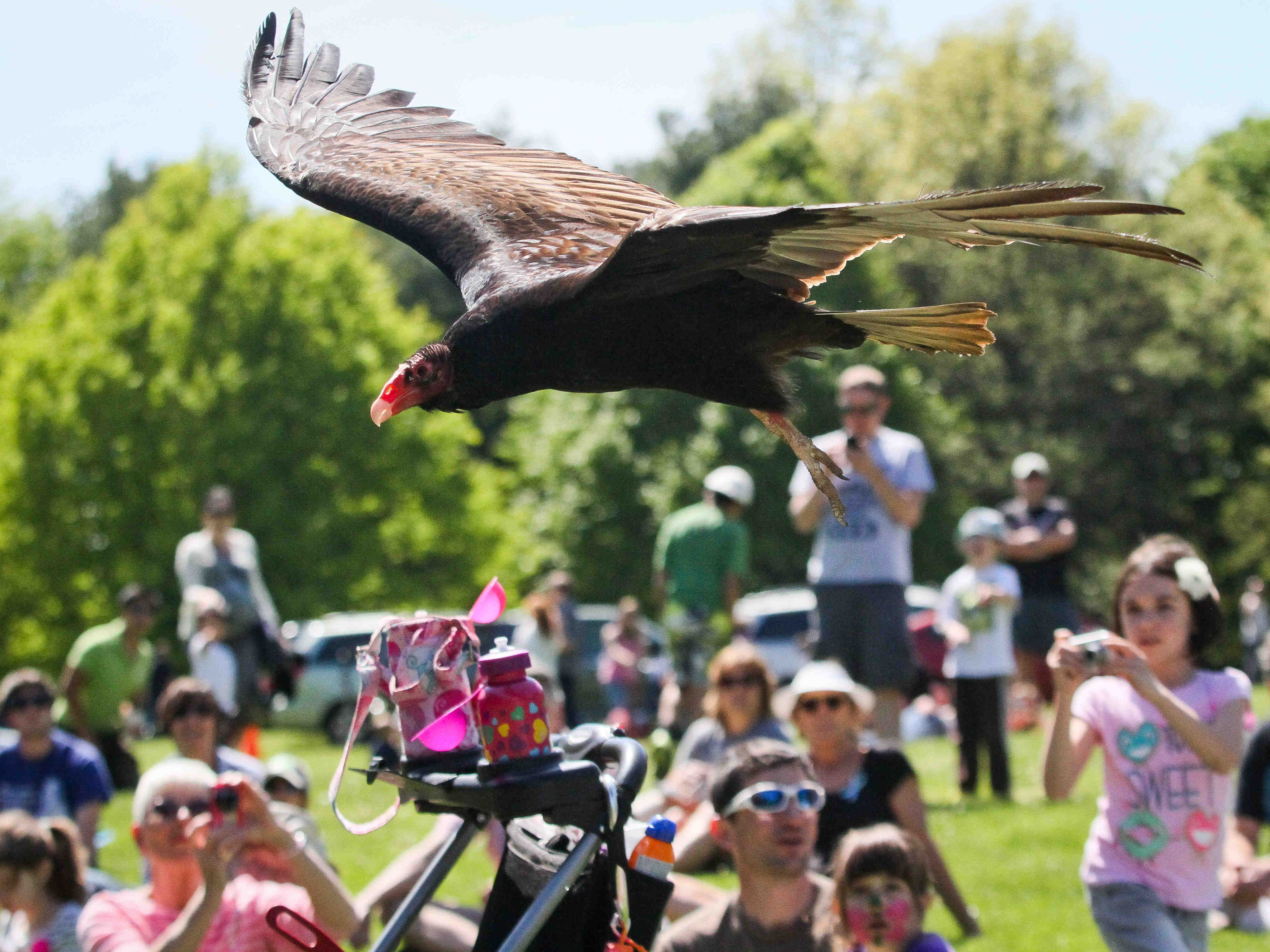 Delaware alphabet: V is for vultures. Here, a turkey vulture flies low over a crowd at a White Clay Creek Fest.