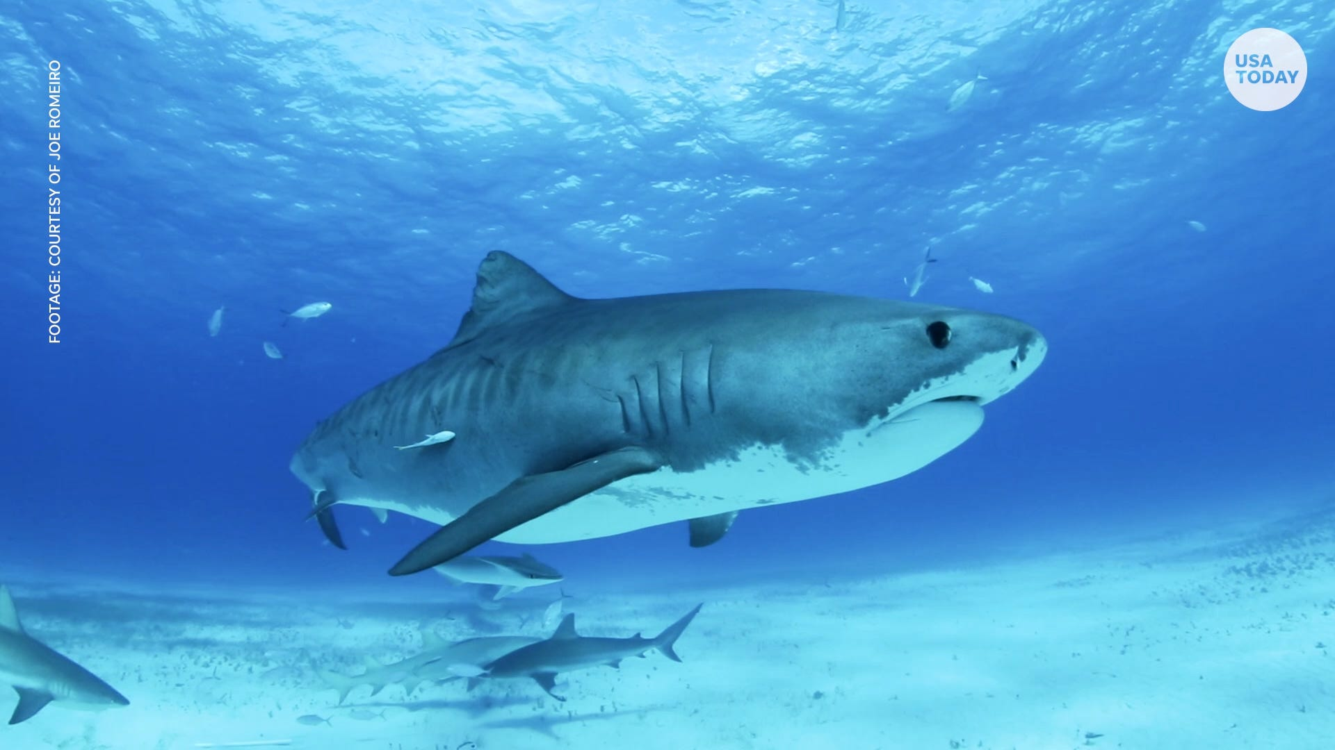 How to score quality time with tiger sharks in the Bahamas