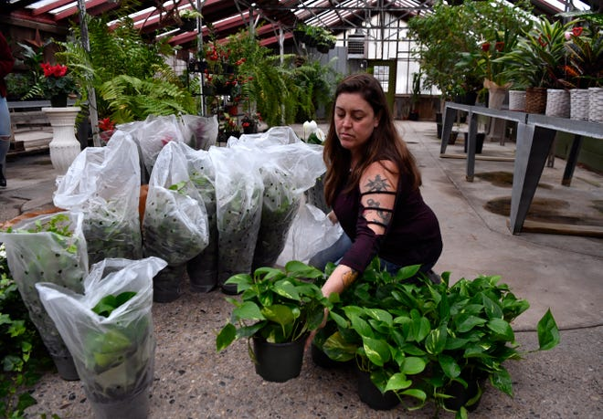 Tresleigh Petre, manager at Baack's Flowers and More, sorts inventory after receiving a shipment of potted plants Tuesday.