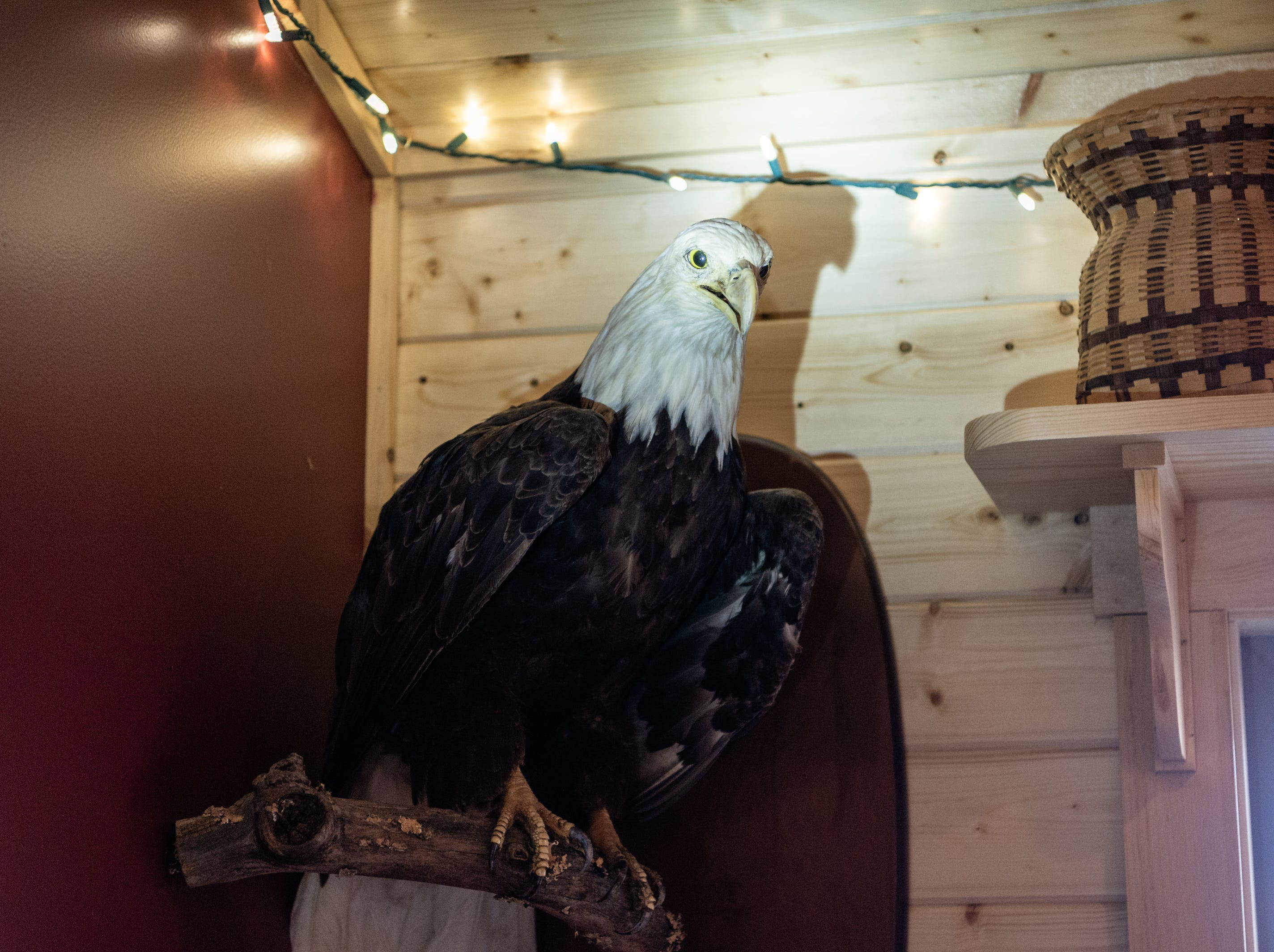 A taxidermied bald eagle in the log cabin home of Vangie Stephens and Tommy Stephens in Cherokee which was designed by Vangie.