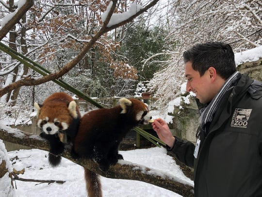 Animal Excellence Coordinator David Orban gives red pandas apple treats. Their regular diet consists primarily of bamboo, and special food items such as grapes and apples are offered as enrichment.