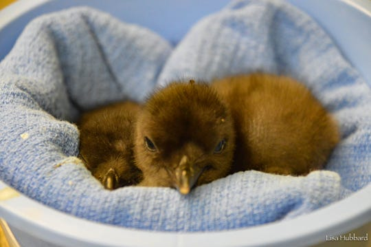 These little blue penguin chicks are future residents of the Cincinnati Zoo & Botanical Garden's new exhibit called Roo Valley.