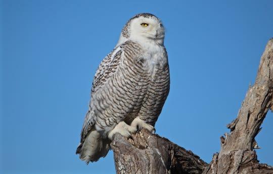 Snowy Owl. Photo Credit: Bruce Szczechowski.