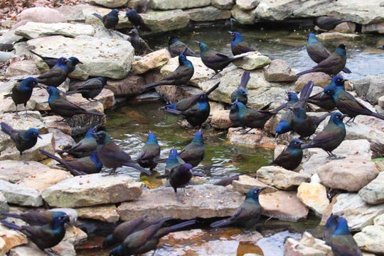 A flock of common grackles and a single starling swarm a backyard water feature.