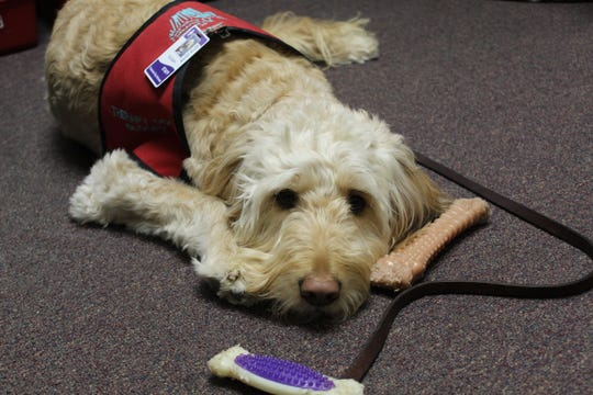 Sloopy is Fremont Ross High School's therapy dog. Bill Schell, the school's freshman counselor, keeps Sloopy in his office and takes the 4-year-old Goldendoodle with him on walks around the school.