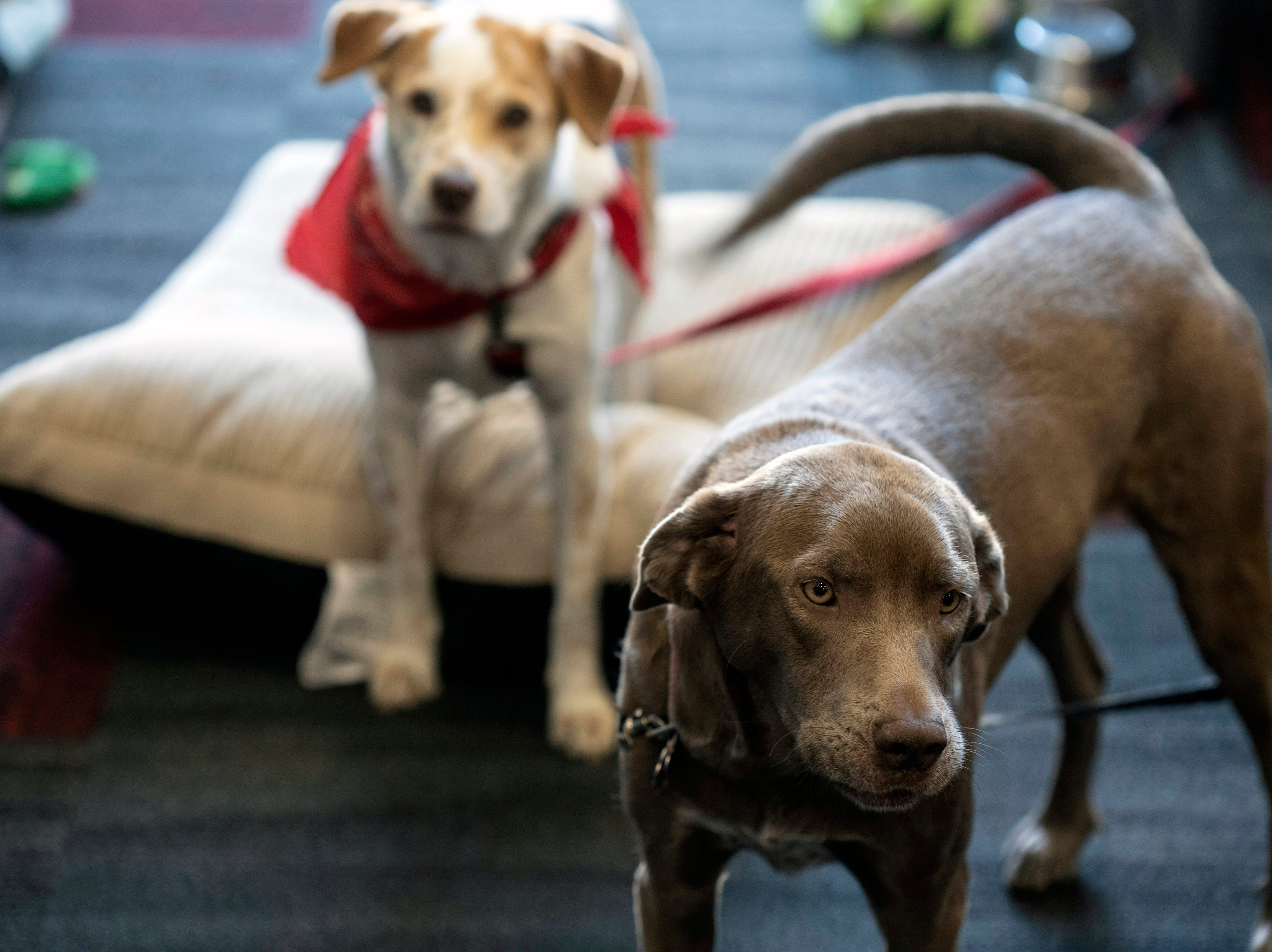 A pair of dogs named Echo and Maize hang out together under and around the desks at PetFirst in  Jeffersonville. Jan. 10, 2019