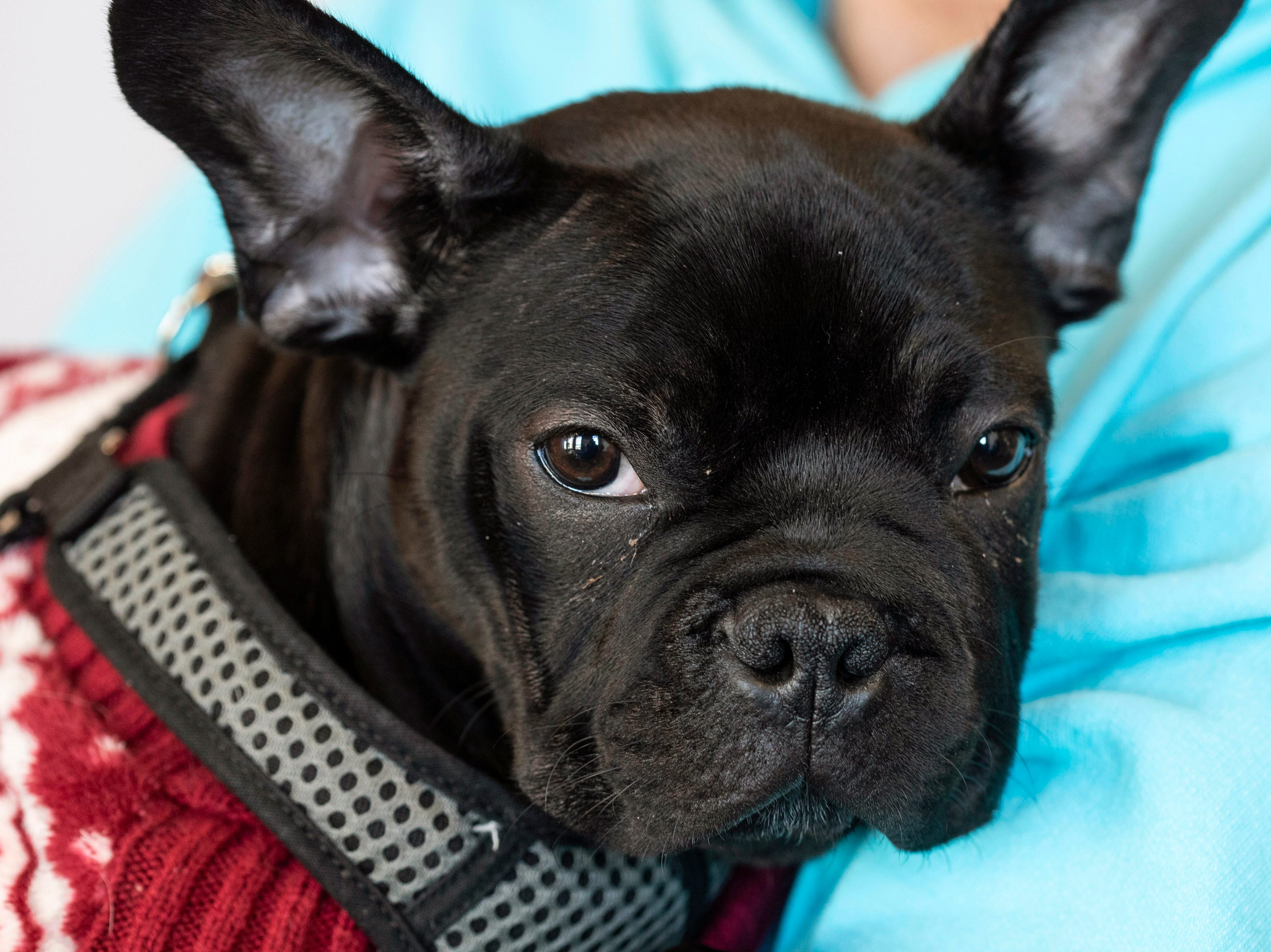 A French bulldog named Winston is one of the many cute faces hanging around the PetFirst headquarters in  Jeffersonville. Jan. 10, 2019