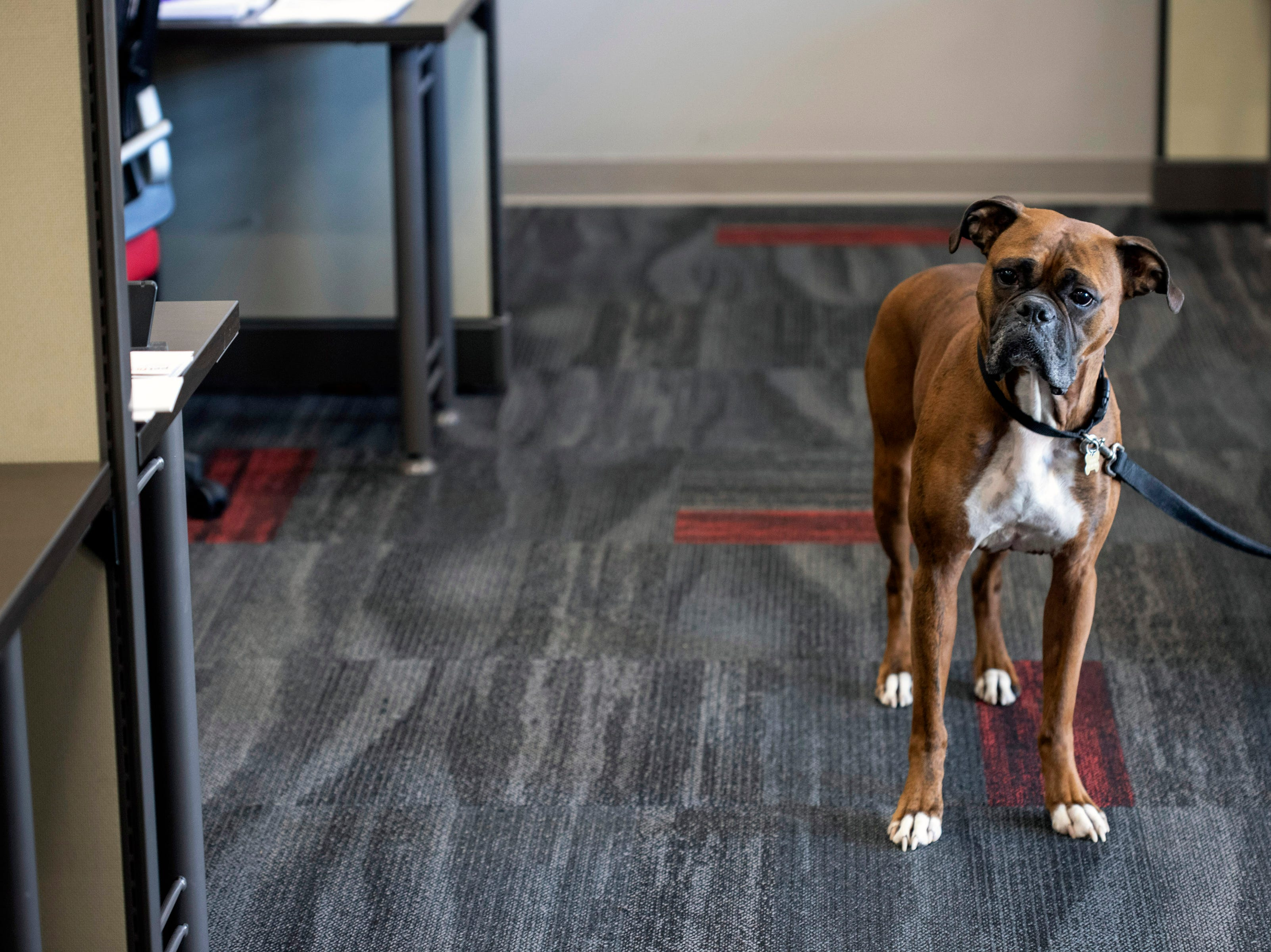A boxer named Geoarge keeps an eye on things at the Jeffersonville office of PetFirst. Jan. 10, 2019