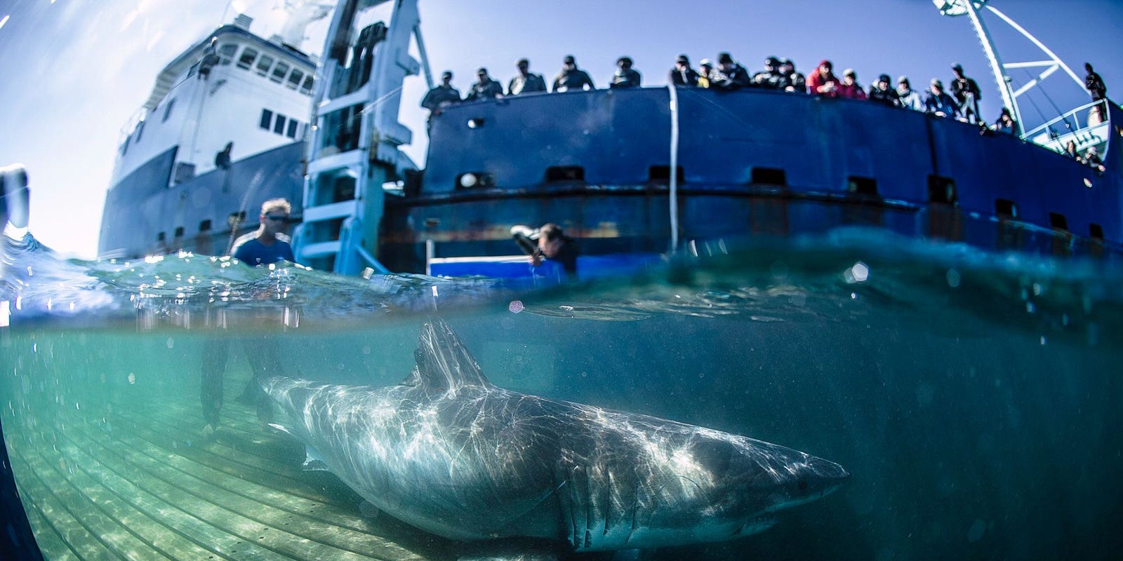 What to know about great white sharks in Florida