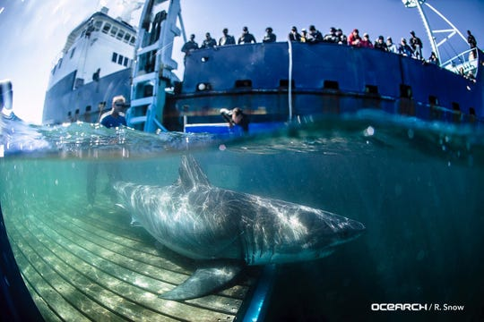 Nova the great white shark was tagged in Canada off the coast of Nova Scotia — hence his name. Several large white sharks tracked by OCEARCH have moved into the Gulf of Mexico over the past month and more are expected.