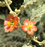 Scarlet globemallow at the NMSU Agricultural Science Center at Los Lunas.