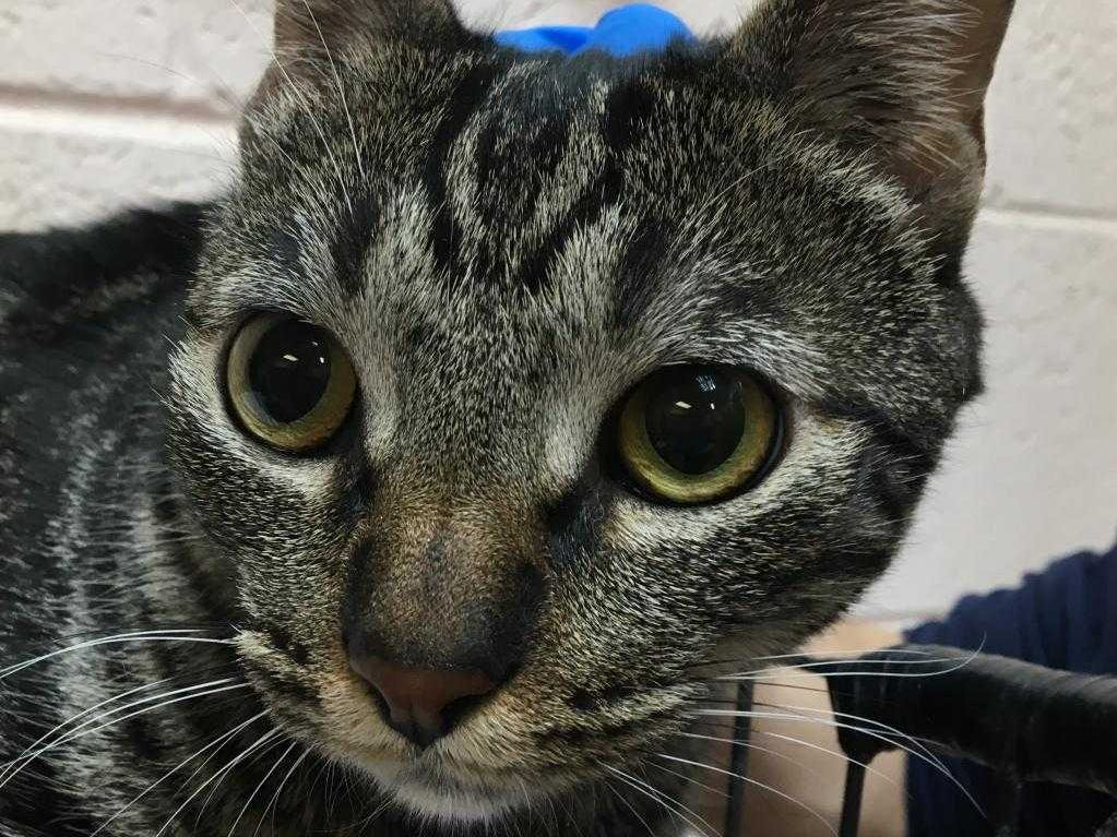 Wicked - Male (neutered) domestic short hair, about 9 months. Intake date: 12-10-18