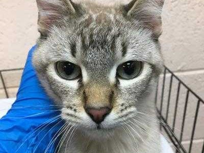 Simba - Male (neutered) domestic short hair, about 3 years old. Intake date: 12-19-18