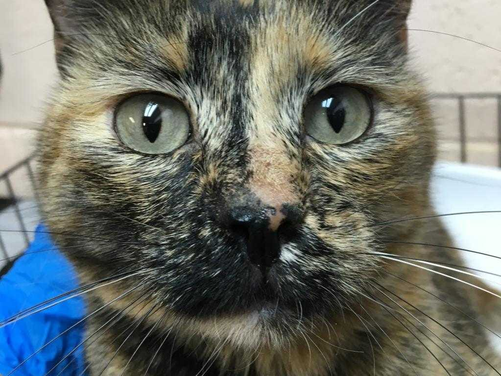 Marigold - Female (spayed) domestic short hair, adult. Intake date: 12-10-18
